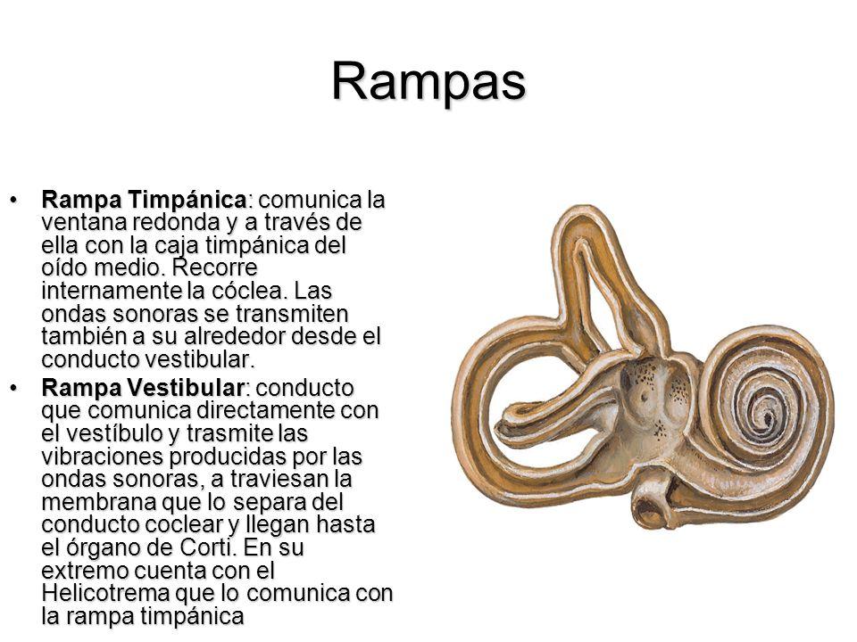 Rampas Rampa Timpánica: comunica la ventana redonda y a través de ella con la caja timpánica del oído medio. Recorre internamente la cóclea. Las ondas