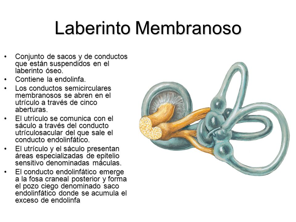 Laberinto Membranoso Conjunto de sacos y de conductos que están suspendidos en el laberinto óseo.Conjunto de sacos y de conductos que están suspendido