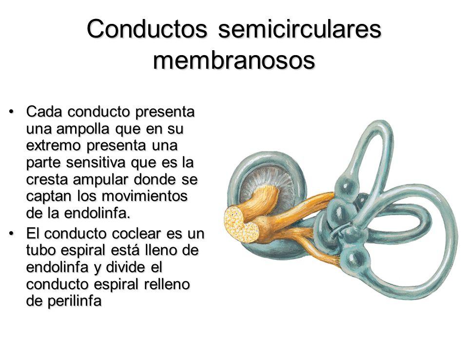 Conductos semicirculares membranosos Cada conducto presenta una ampolla que en su extremo presenta una parte sensitiva que es la cresta ampular donde