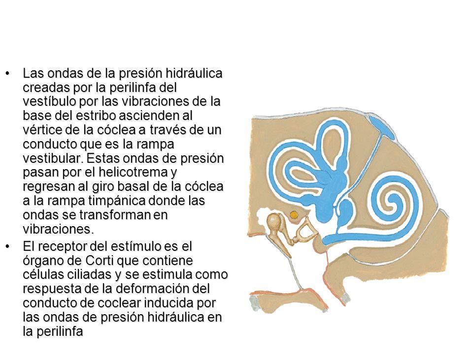 Las ondas de la presión hidráulica creadas por la perilinfa del vestíbulo por las vibraciones de la base del estribo ascienden al vértice de la cóclea