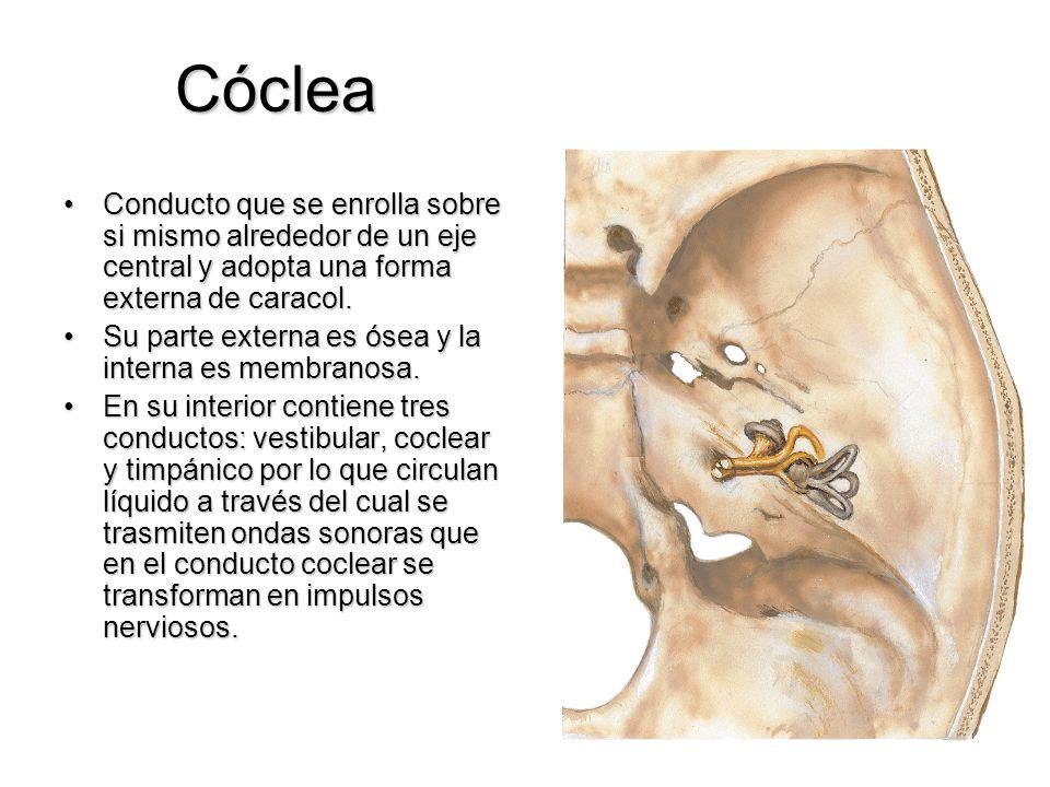 Cóclea Conducto que se enrolla sobre si mismo alrededor de un eje central y adopta una forma externa de caracol.Conducto que se enrolla sobre si mismo