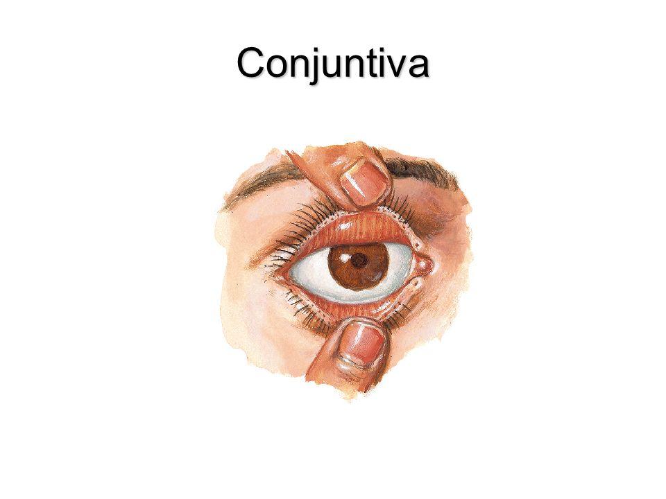 Capa Interna del globo ocular