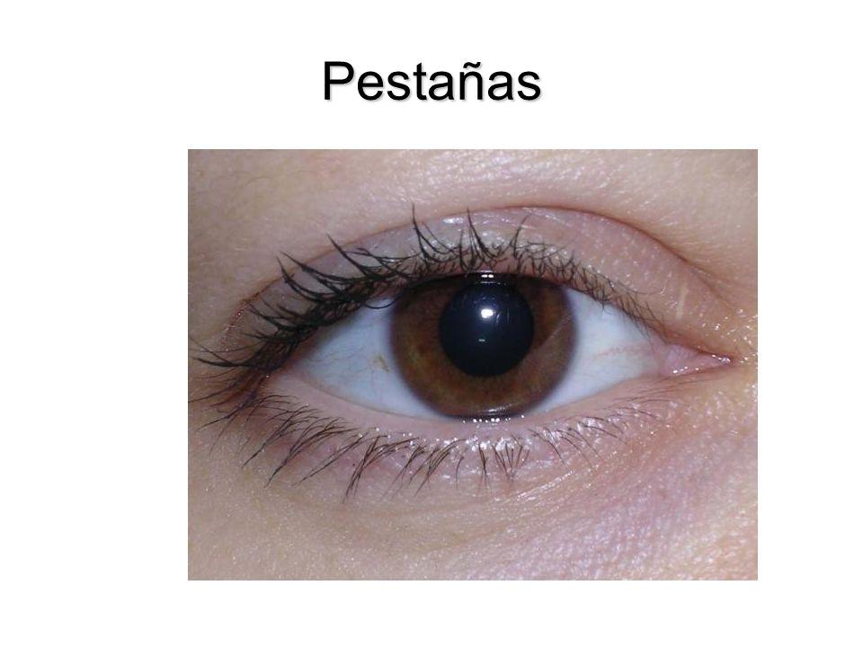 Retina Fondo: es la porción posterior, presenta un área deprimida circular que se llama disco óptico donde las fibras sensitivas y los vasos que transporta el nervio óptico entran en el globo ocular, no tiene fotorreceptores y es insensible a la luz.