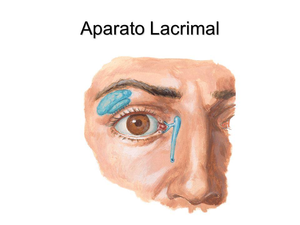 Músculo Recto Inferior Nace en el anillo tendinoso comúnNace en el anillo tendinoso común Se inserta en la esclera detrás de la unión corneoescleralSe inserta en la esclera detrás de la unión corneoescleral Inervado por el nervio oculomotorInervado por el nervio oculomotor Deprime aduce y rota medialmente el globo ocularDeprime aduce y rota medialmente el globo ocular