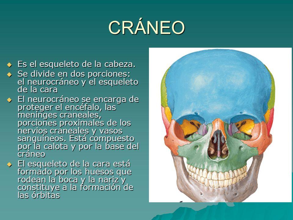 CRÁNEO Es el esqueleto de la cabeza. Es el esqueleto de la cabeza. Se divide en dos porciones: el neurocráneo y el esqueleto de la cara Se divide en d