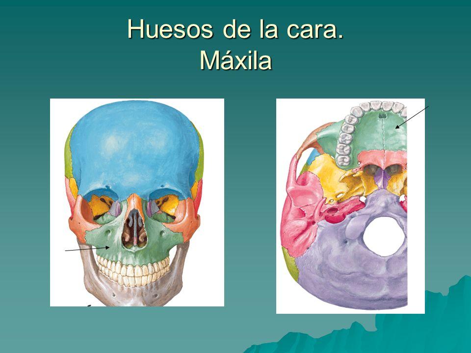 Huesos de la cara. Máxila