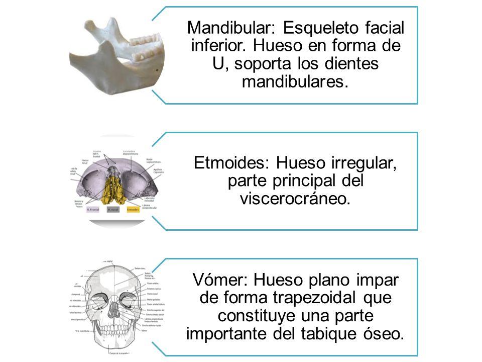 Mandibular: Esqueleto facial inferior. Hueso en forma de U, soporta los dientes mandibulares. Etmoides: Hueso irregular, parte principal del viscerocr