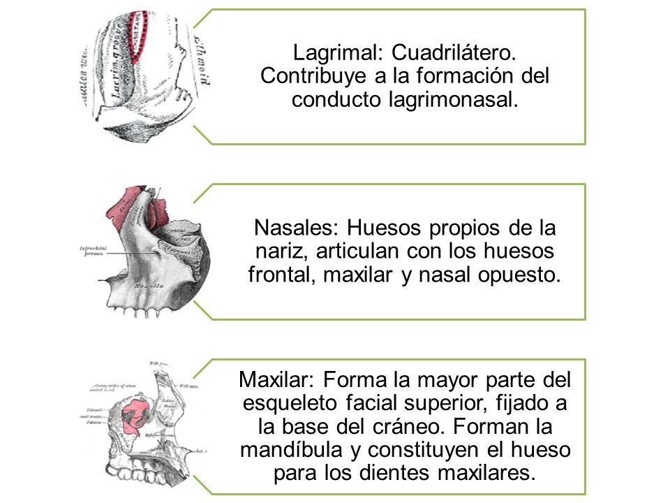 Lagrimal: Cuadrilátero. Contribuye a la formación del conducto lagrimonasal. Nasales: Huesos propios de la nariz, articulan con los huesos frontal, ma