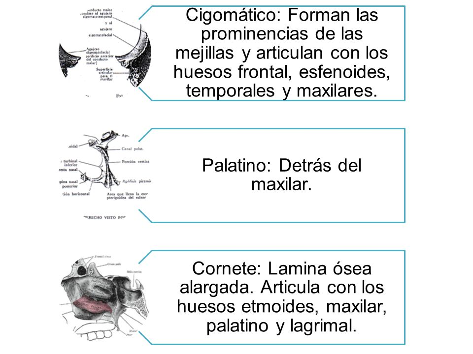 Cigomático: Forman las prominencias de las mejillas y articulan con los huesos frontal, esfenoides, temporales y maxilares. Palatino: Detrás del maxil