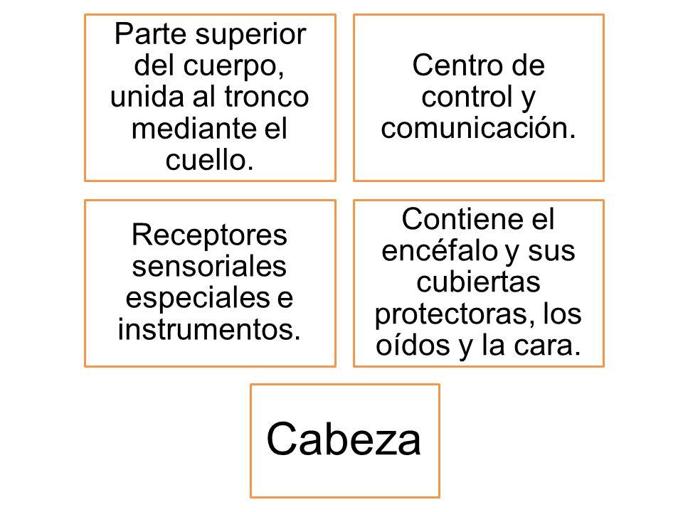 Parte superior del cuerpo, unida al tronco mediante el cuello. Centro de control y comunicación. Receptores sensoriales especiales e instrumentos. Con