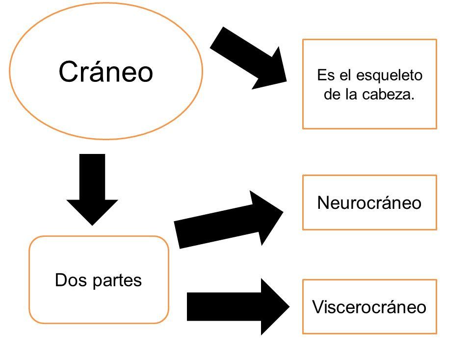 Es el esqueleto de la cabeza. Dos partes Neurocráneo Viscerocráneo