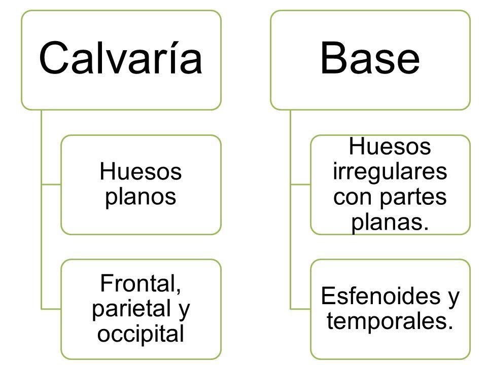 Calvaría Huesos planos Frontal, parietal y occipital Base Huesos irregulares con partes planas. Esfenoides y temporales.