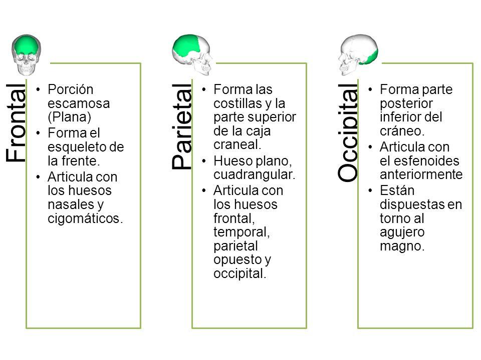 Frontal Porción escamosa (Plana) Forma el esqueleto de la frente. Articula con los huesos nasales y cigomáticos. Parietal Forma las costillas y la par