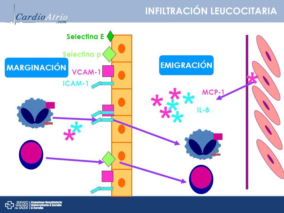 INFILTRACIÓN LEUCOCITARIA VCAM-1 ICAM-1 Selectina p Selectina E * * * * * * MCP-1 IL-8 * * * MARGINACIÓN EMIGRACIÓN