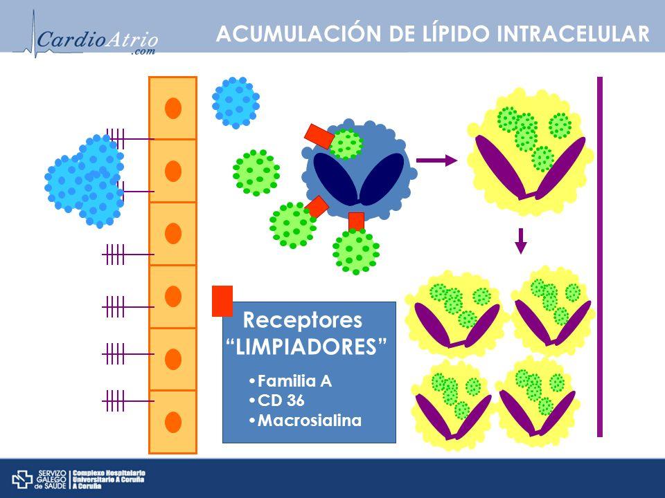 Receptores LIMPIADORES Familia A CD 36 Macrosialina ACUMULACIÓN DE LÍPIDO INTRACELULAR