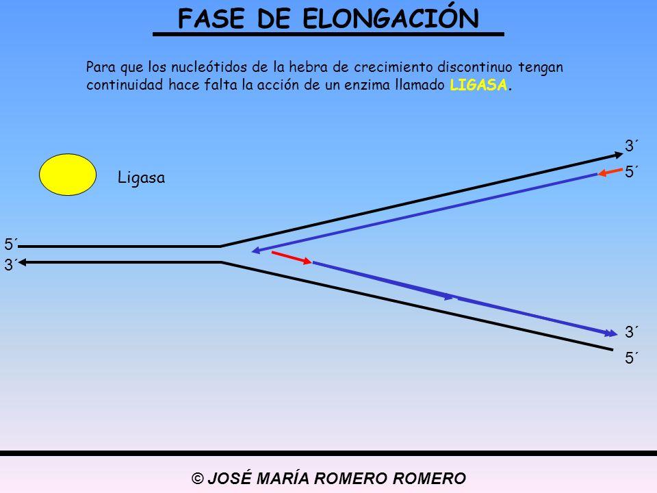 © JOSÉ MARÍA ROMERO ROMERO Para que los nucleótidos de la hebra de crecimiento discontinuo tengan continuidad hace falta la acción de un enzima llamad