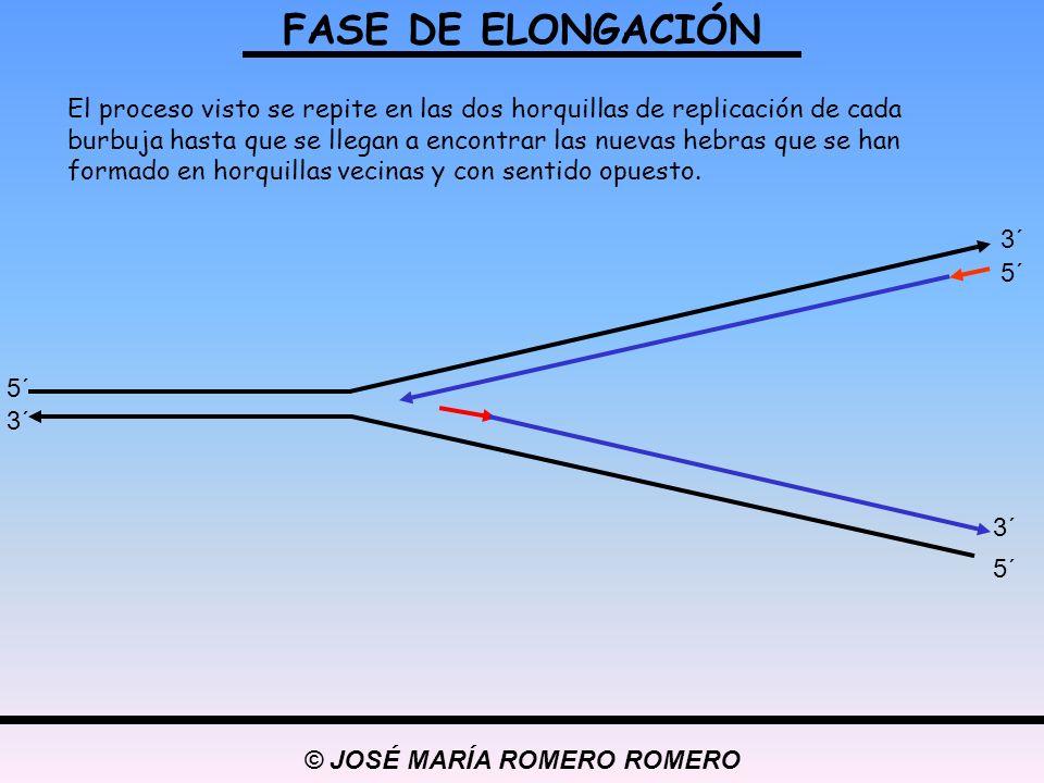 © JOSÉ MARÍA ROMERO ROMERO FASE DE ELONGACIÓN 5´ 3´ 5´ 3´ 5´ 3´ El proceso visto se repite en las dos horquillas de replicación de cada burbuja hasta