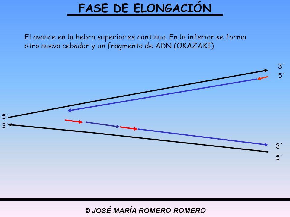 © JOSÉ MARÍA ROMERO ROMERO FASE DE ELONGACIÓN 5´ 3´ 5´ 3´ 5´ 3´ El avance en la hebra superior es continuo. En la inferior se forma otro nuevo cebador