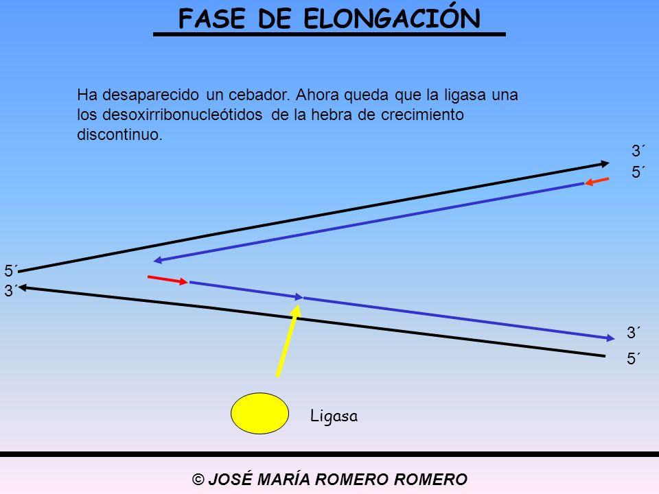 © JOSÉ MARÍA ROMERO ROMERO FASE DE ELONGACIÓN 5´ 3´ 5´ 3´ 5´ 3´ Ha desaparecido un cebador. Ahora queda que la ligasa una los desoxirribonucleótidos d