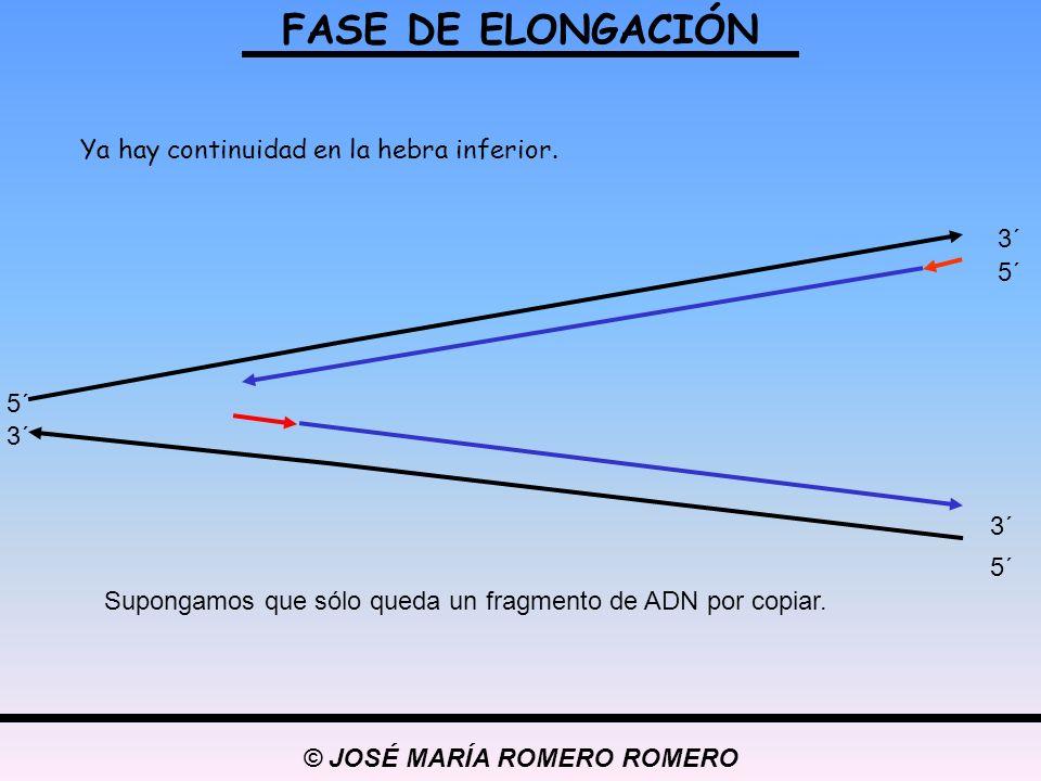 © JOSÉ MARÍA ROMERO ROMERO FASE DE ELONGACIÓN 5´ 3´ 5´ 3´ 5´ 3´ Ya hay continuidad en la hebra inferior. Supongamos que sólo queda un fragmento de ADN