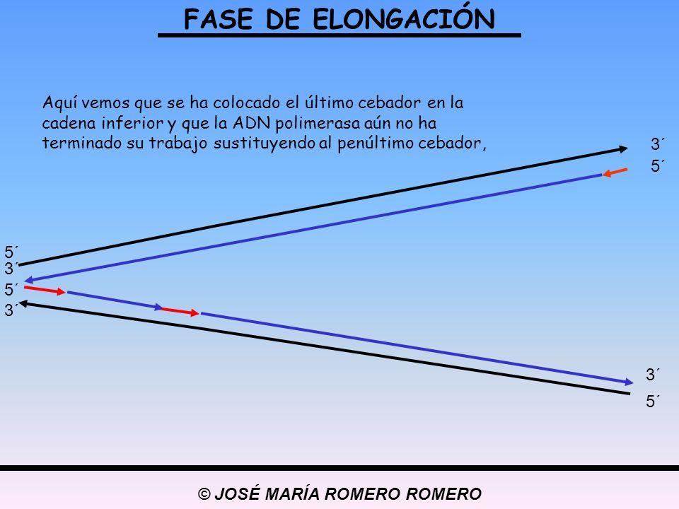 © JOSÉ MARÍA ROMERO ROMERO FASE DE ELONGACIÓN 5´ 3´ 5´ 3´ 5´ 3´ 5´ 3´ Aquí vemos que se ha colocado el último cebador en la cadena inferior y que la A