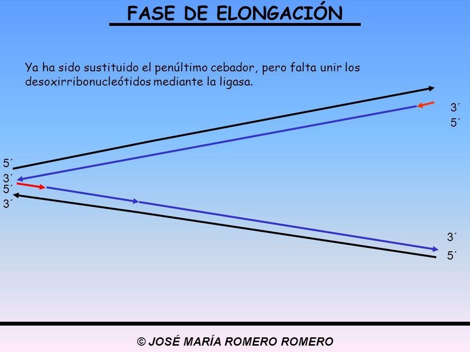 © JOSÉ MARÍA ROMERO ROMERO FASE DE ELONGACIÓN 5´ 3´ 5´ 3´ 5´ 3´ Ya ha sido sustituido el penúltimo cebador, pero falta unir los desoxirribonucleótidos