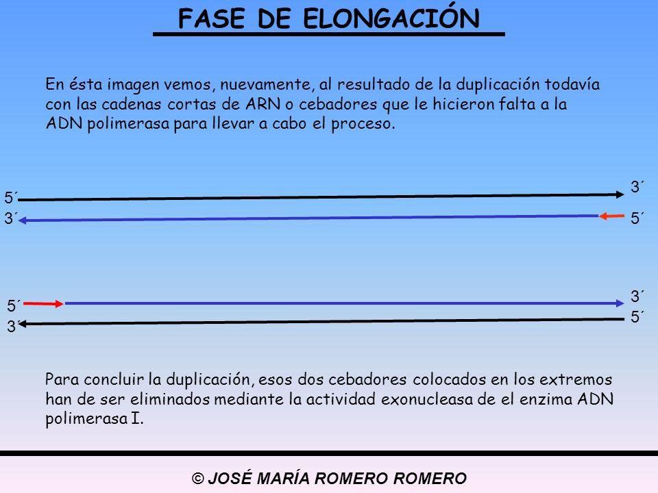 © JOSÉ MARÍA ROMERO ROMERO FASE DE ELONGACIÓN 5´ 3´5´ 3´ 5´ 3´ 5´ 3´ En ésta imagen vemos, nuevamente, al resultado de la duplicación todavía con las