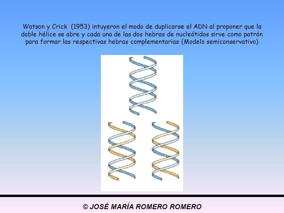 Watson y Crick (1953) intuyeron el modo de duplicarse el ADN al proponer que la doble hélice se abre y cada una de las dos hebras de nucleótidos sirve