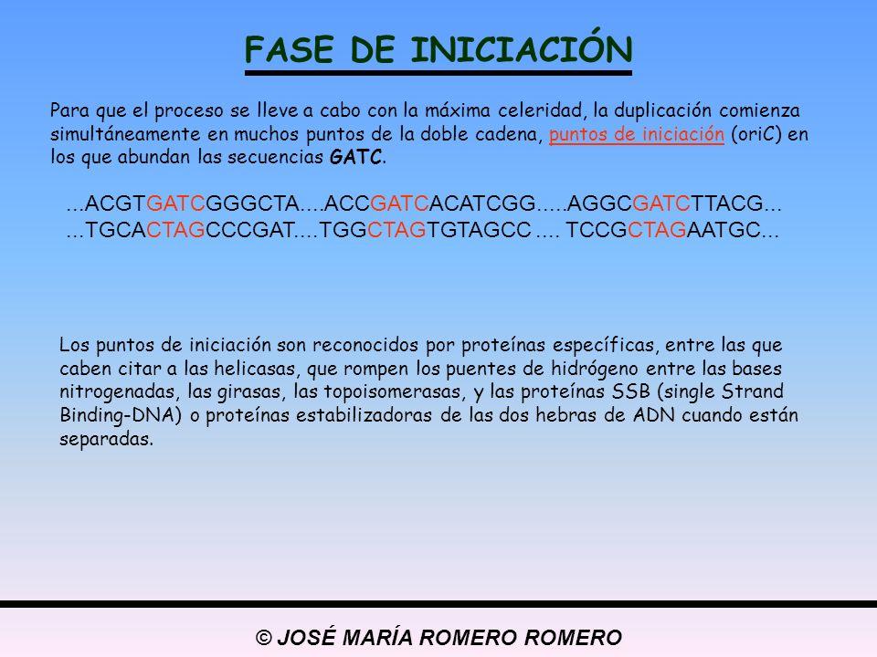 © JOSÉ MARÍA ROMERO ROMERO FASE DE INICIACIÓN Para que el proceso se lleve a cabo con la máxima celeridad, la duplicación comienza simultáneamente en