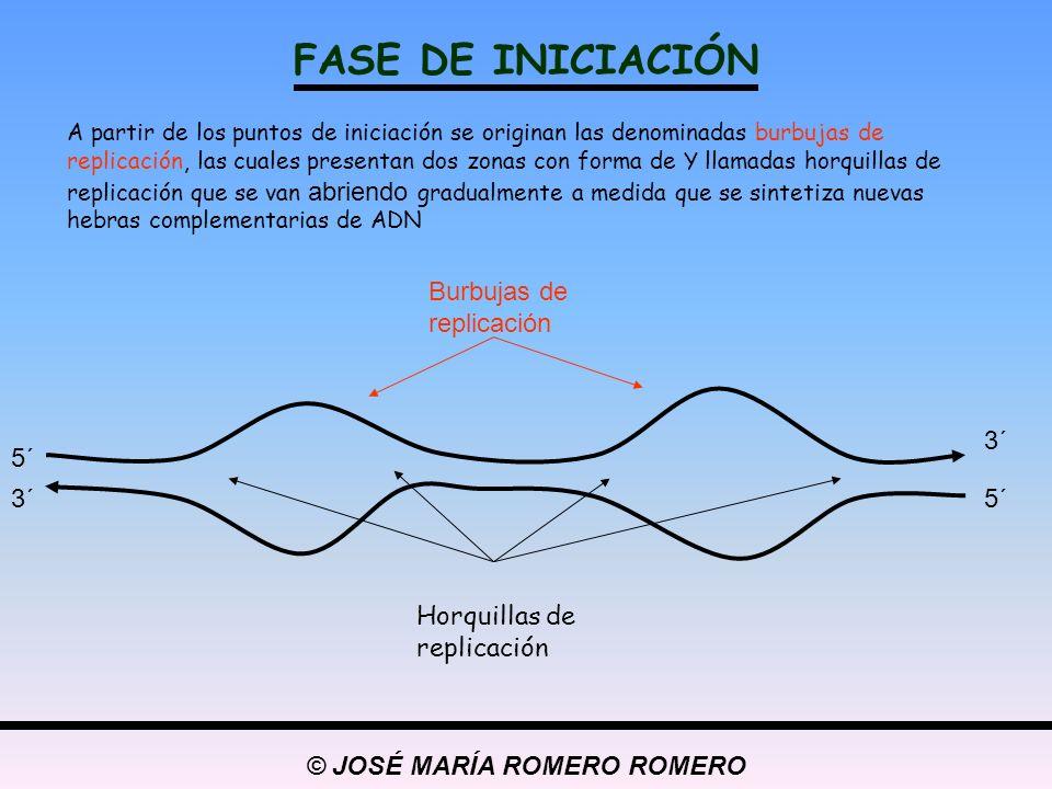 © JOSÉ MARÍA ROMERO ROMERO FASE DE ELONGACIÓN Es la fase en la que tiene lugar la síntesis de nuevas hebras de ADN complementarias a cada una de las dos hebras de ADN originales.