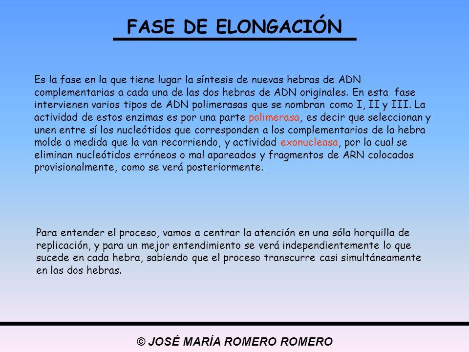 © JOSÉ MARÍA ROMERO ROMERO FASE DE ELONGACIÓN Es la fase en la que tiene lugar la síntesis de nuevas hebras de ADN complementarias a cada una de las d