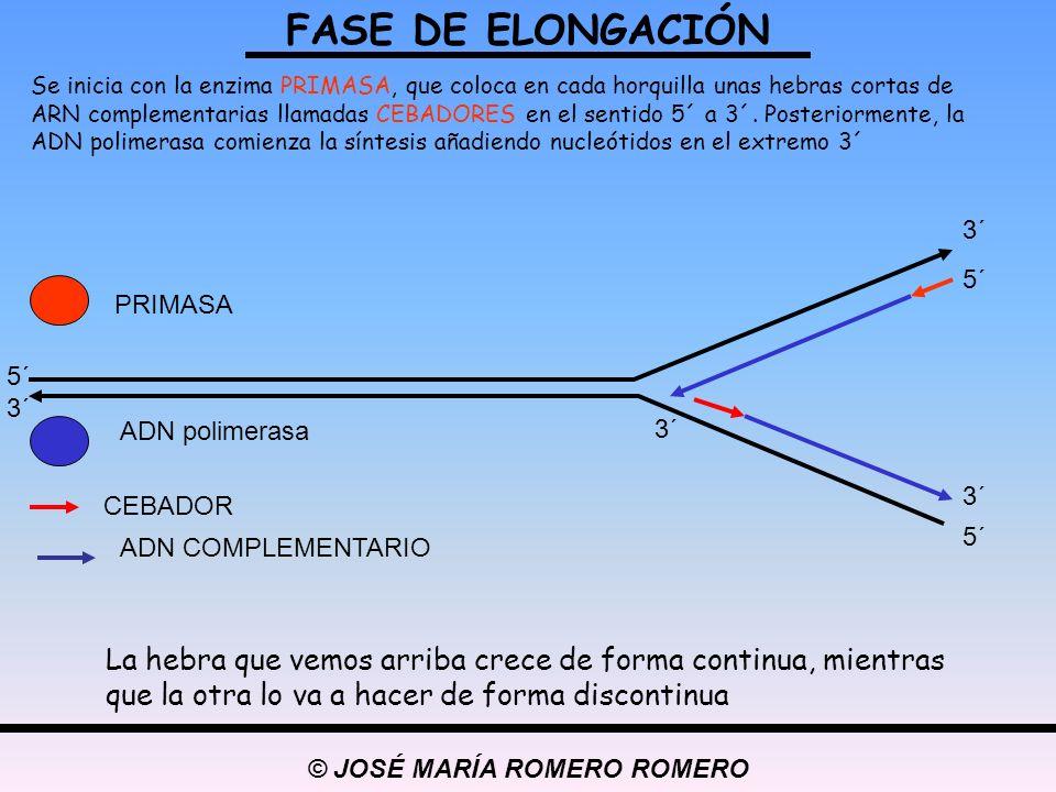 © JOSÉ MARÍA ROMERO ROMERO Se inicia con la enzima PRIMASA, que coloca en cada horquilla unas hebras cortas de ARN complementarias llamadas CEBADORES