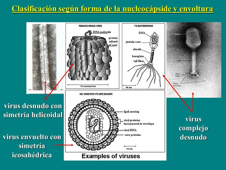 virus desnudo con simetría helicoidal virus complejo desnudo virus envuelto con simetría icosahédrica Clasificación según forma de la nucleocápside y