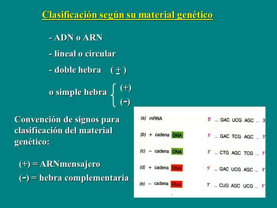 Clasificación según su material genético Convención de signos para clasificación del material genético: (+) = ARNmensajero (+) = ARNmensajero ( - ) =