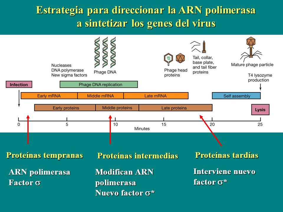 ARN polimerasa Factor Factor Proteínas tempranas Proteínas intermedias Modifican ARN polimerasa Nuevo factor * Proteínas tardías Interviene nuevo fact