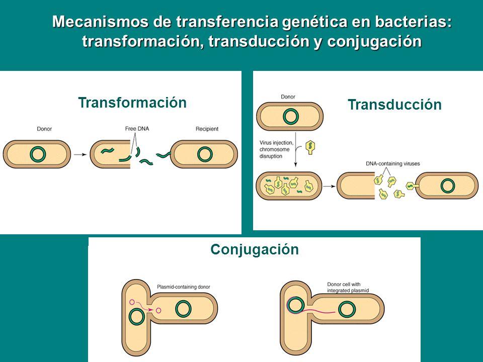 Mecanismos de transferencia genética en bacterias: transformación, transducción y conjugación Transformación Transducción Conjugación