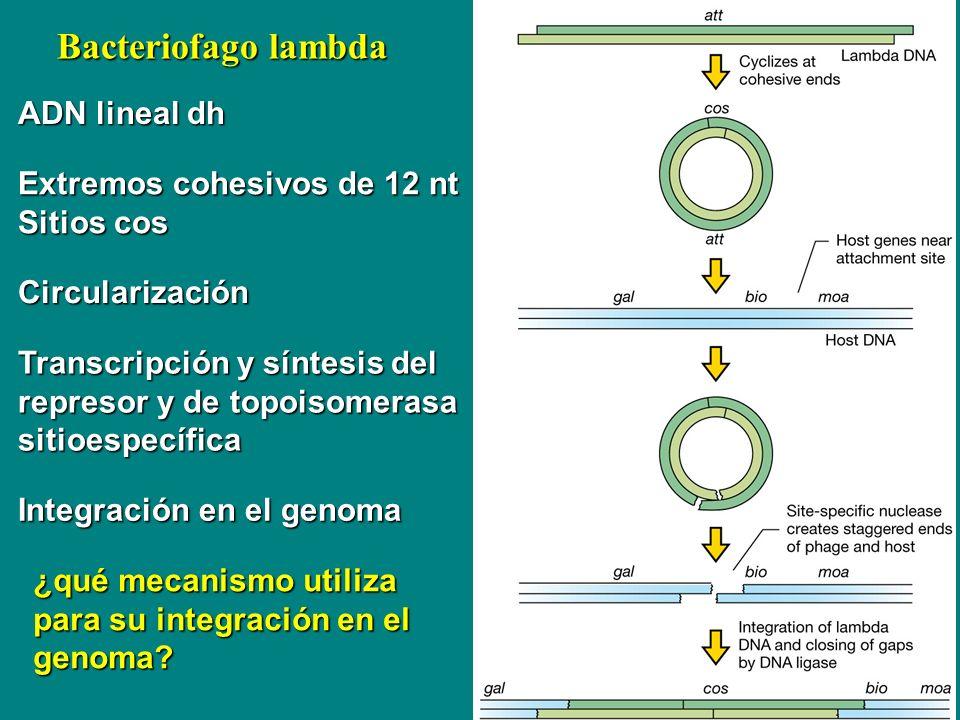 Bacteriofago lambda ADN lineal dh Extremos cohesivos de 12 nt Sitios cos Circularización Integración en el genoma ¿qué mecanismo utiliza para su integ