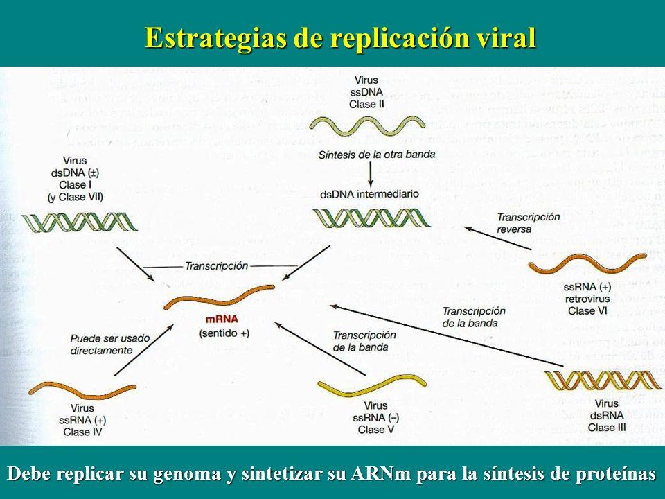 Estrategias de replicación viral Debe replicar su genoma y sintetizar su ARNm para la síntesis de proteínas