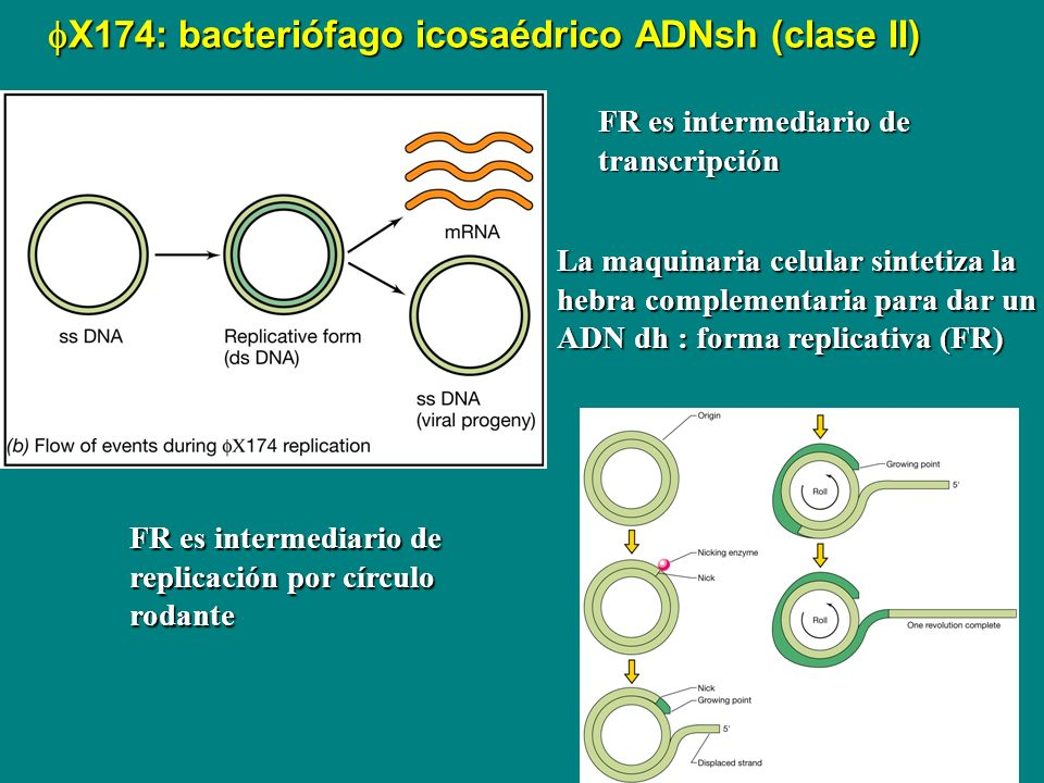 X174: bacteriófago icosaédrico ADNsh (clase II) X174: bacteriófago icosaédrico ADNsh (clase II) La maquinaria celular sintetiza la hebra complementari