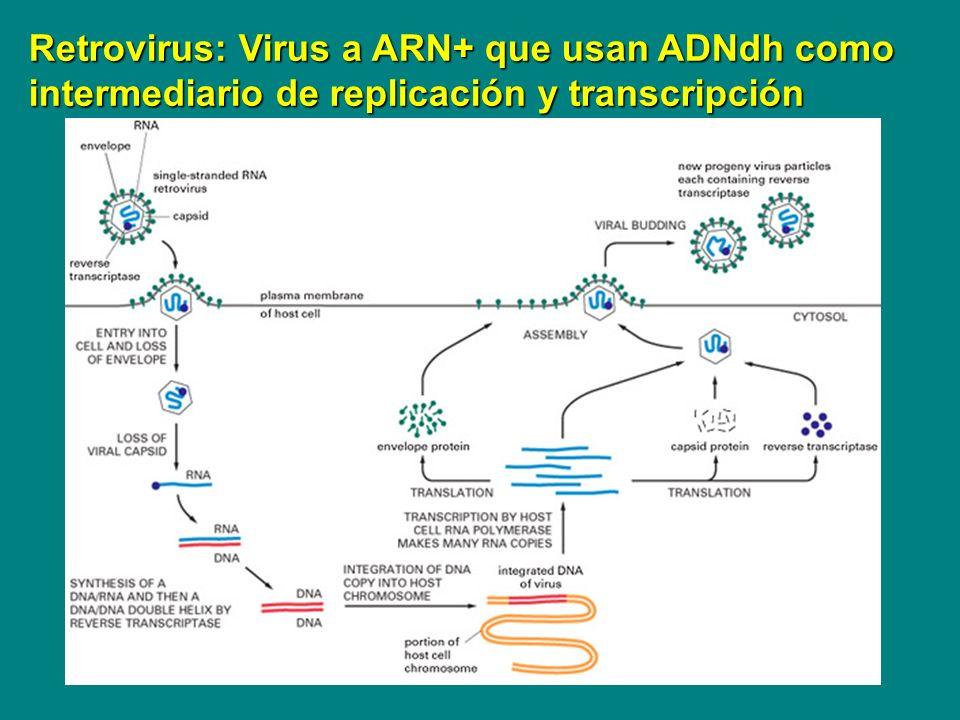 Retrovirus: Virus a ARN+ que usan ADNdh como intermediario de replicación y transcripción