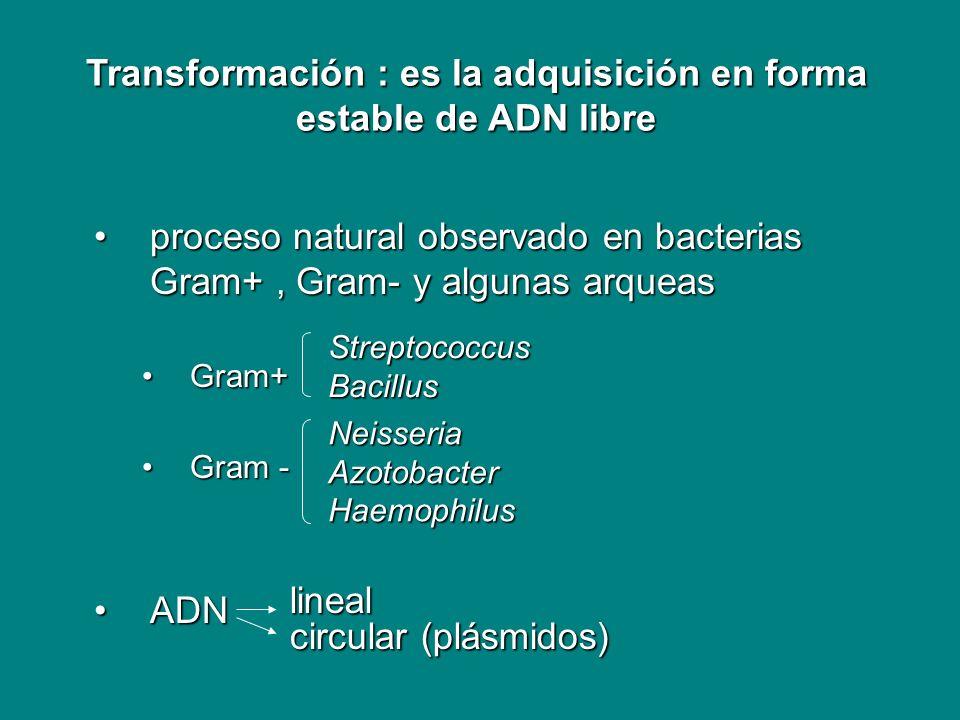 proceso natural observado en bacterias Gram+, Gram- y algunas arqueasproceso natural observado en bacterias Gram+, Gram- y algunas arqueas Gram+Gram+