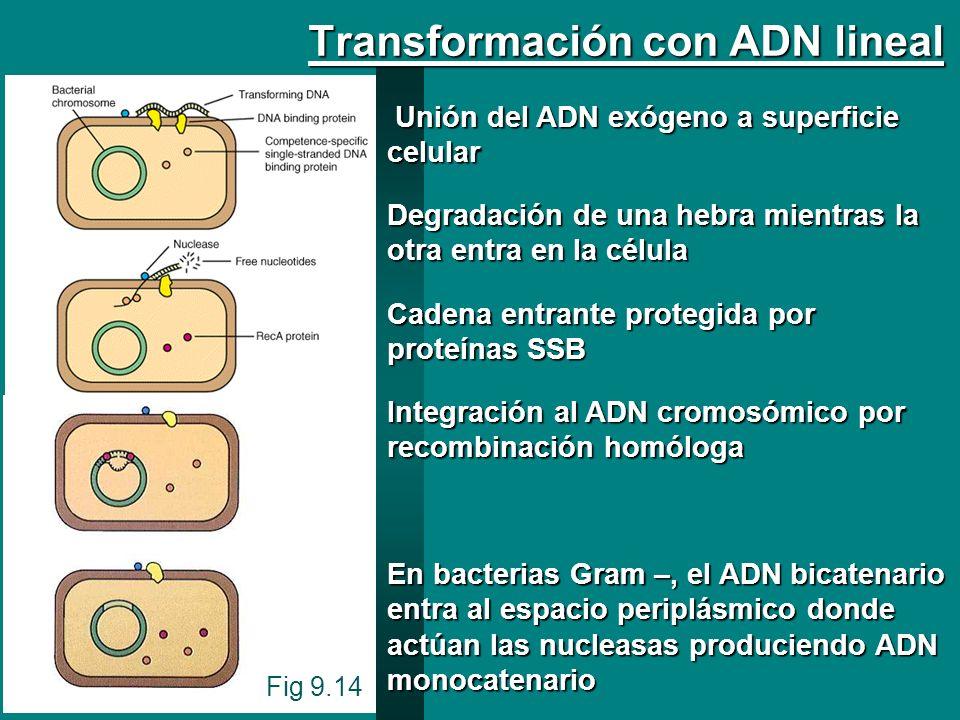 Fig 9.14 Transformación con ADN lineal Unión del ADN exógeno a superficie celular Unión del ADN exógeno a superficie celular Degradación de una hebra