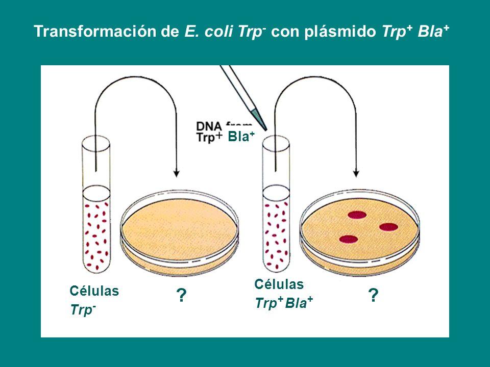 Conjugación: transferencia de ADN de célula a célula Función codificada por plásmidos (tra) genes de transferencia del ADN, replicación, reconocimiento célula aceptora Célula donora reconoce una receptora a través del pili o pelo sexual Acercamiento celular y fusión de membranas externas Transferencia de ADN simple hebra Proceso replicativo por círculo rodante
