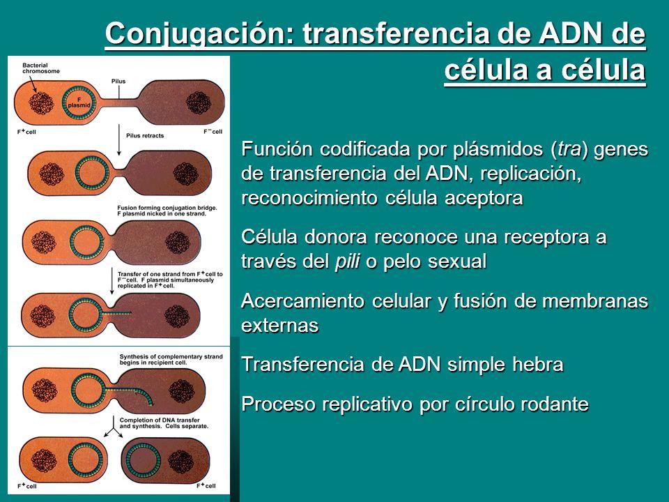 Conjugación: transferencia de ADN de célula a célula Función codificada por plásmidos (tra) genes de transferencia del ADN, replicación, reconocimient