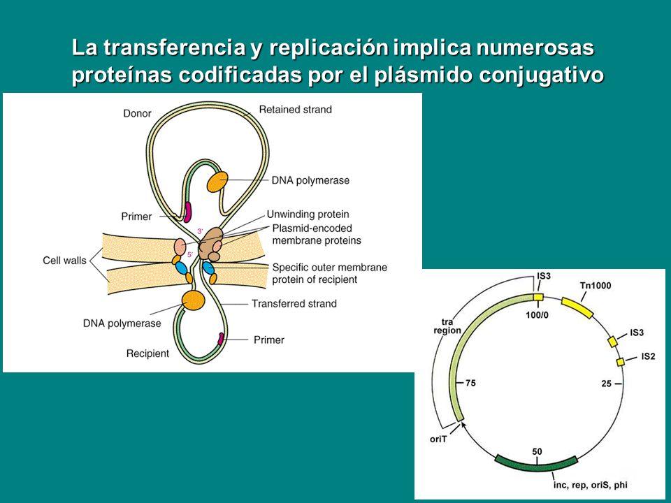 ARN polimerasa Factor Factor Proteínas tempranas Proteínas intermedias Modifican ARN polimerasa Nuevo factor * Proteínas tardías Interviene nuevo factor * Estrategia para direccionar la ARN polimerasa a sintetizar los genes del virus