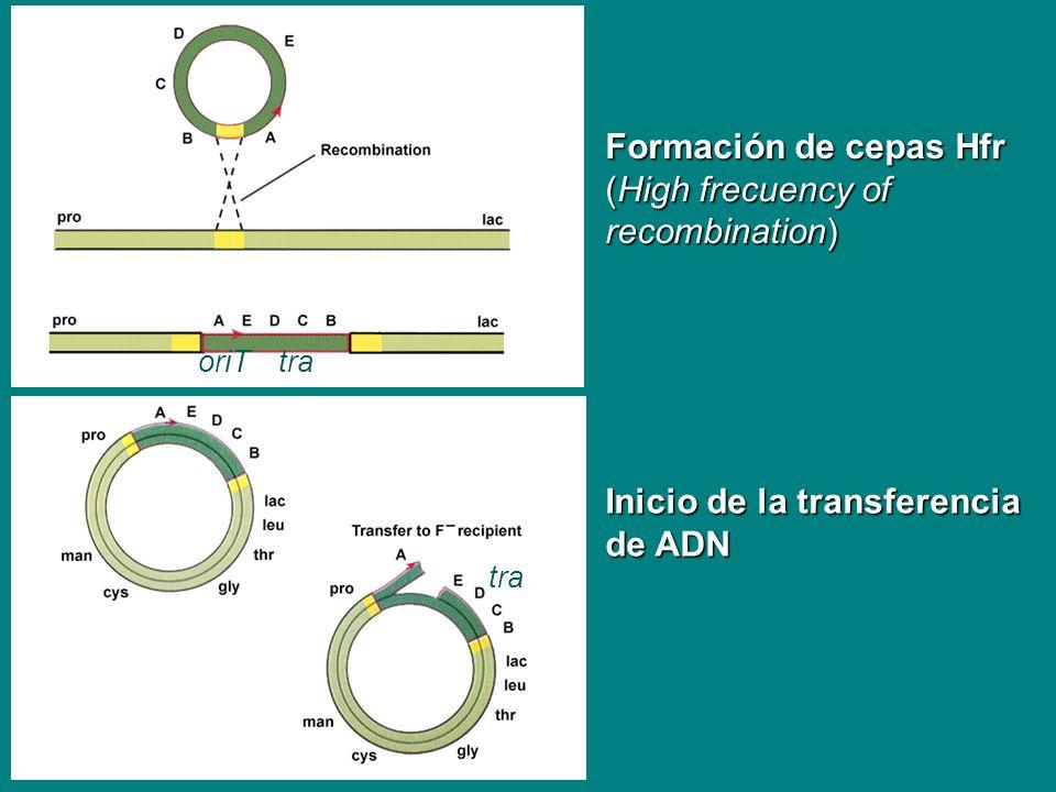 Formación de cepas Hfr (High frecuency of recombination) oriTtra Inicio de la transferencia de ADN tra