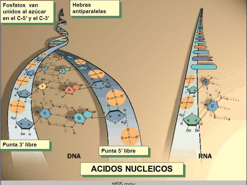 Fosfatos van unidos al azúcar en el C-5 y el C-3 Hebras antiparalelas Punta 3 libre Punta 5 libre ACIDOS NUCLEICOS