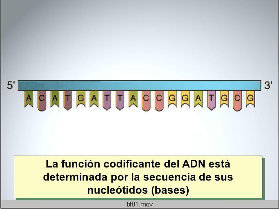 La función codificante del ADN está determinada por la secuencia de sus nucleótidos (bases)