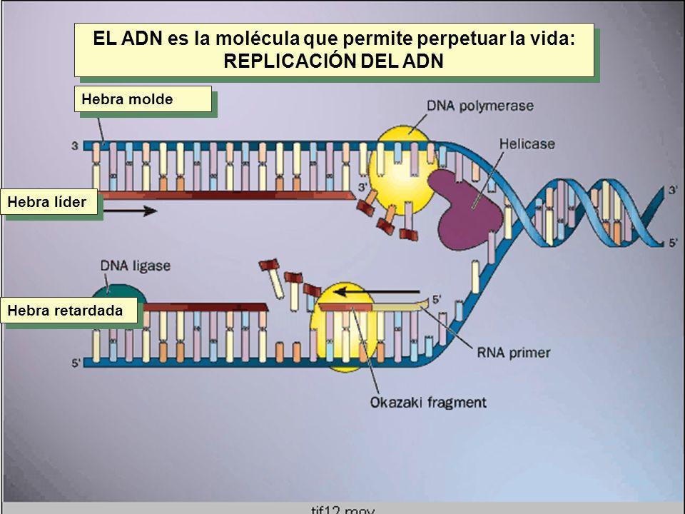 Replicación §Las ADN polimerasas requieren como sustrato la punta 3 hidroxilo libre de una base apareada para catalizar la unión de otro nucleótido.