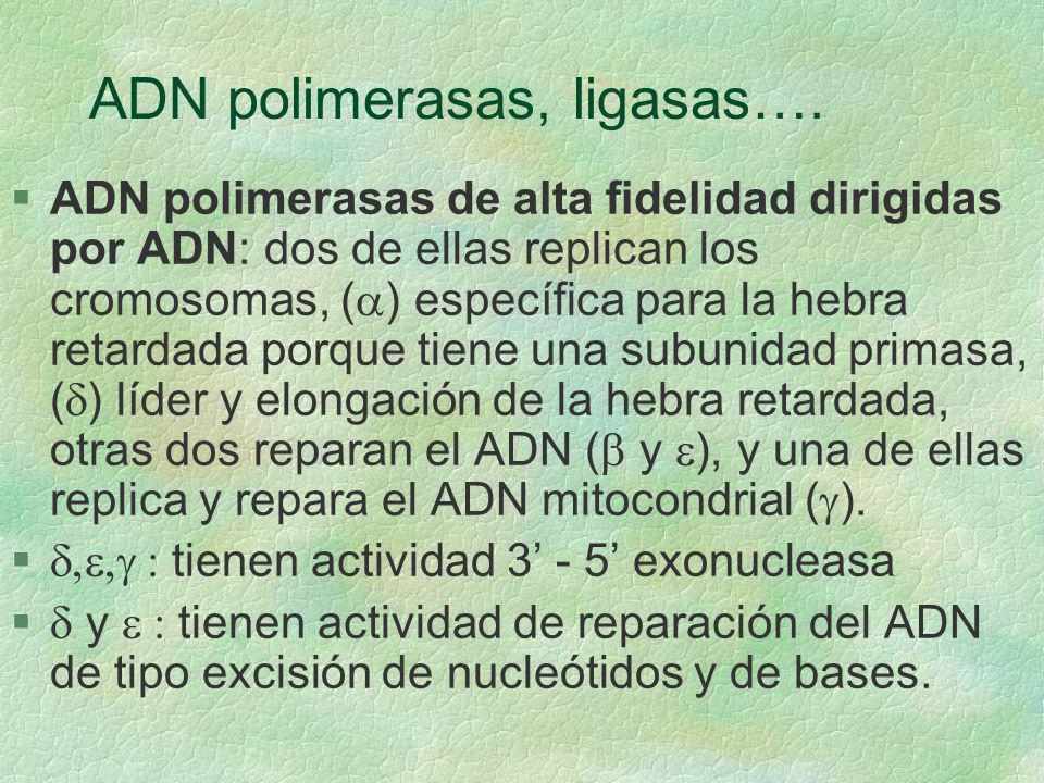 ADN polimerasas, ligasas…. ADN polimerasas de alta fidelidad dirigidas por ADN: dos de ellas replican los cromosomas, ( ) específica para la hebra ret